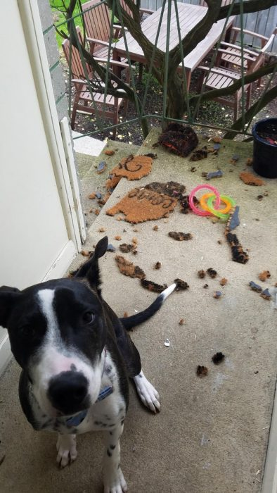 perrito destrozó un tapete
