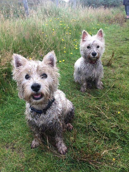 perritos sucios en pasto