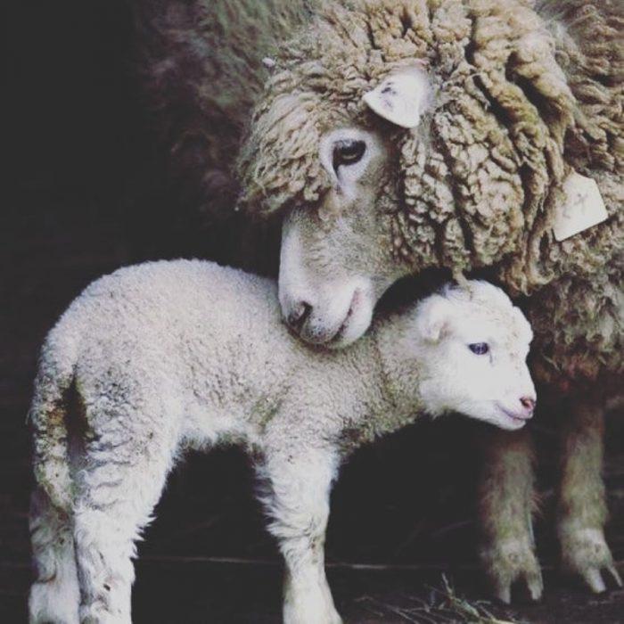 Abrazo de madre oveja y cordero