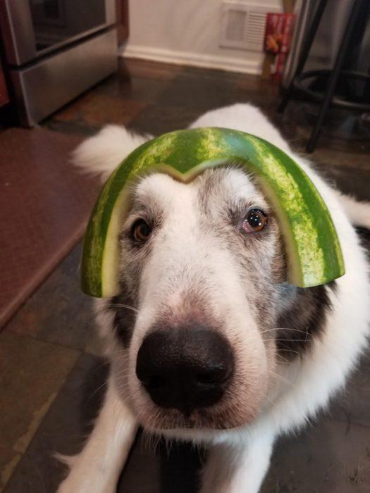 perrito con casco de sandía