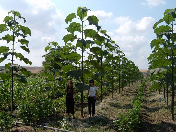comparación de árbol kiri con personas