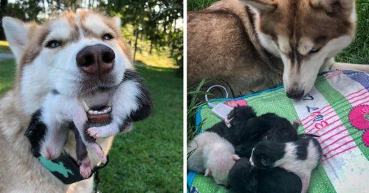 Cover Valiente Husky salva a 7 gatitos de morir en el bosque