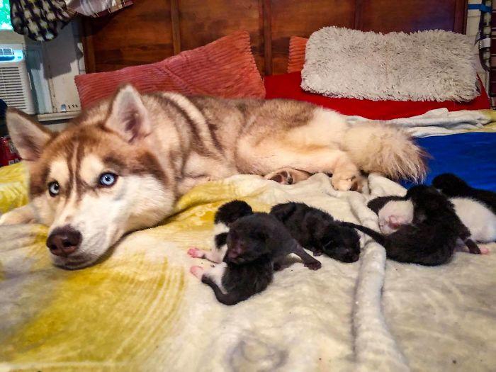 husky con sus hijos