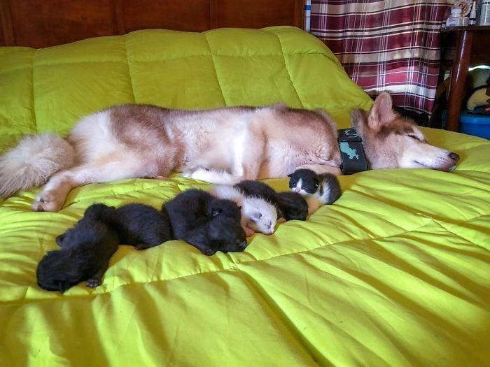 perrito husky en cama
