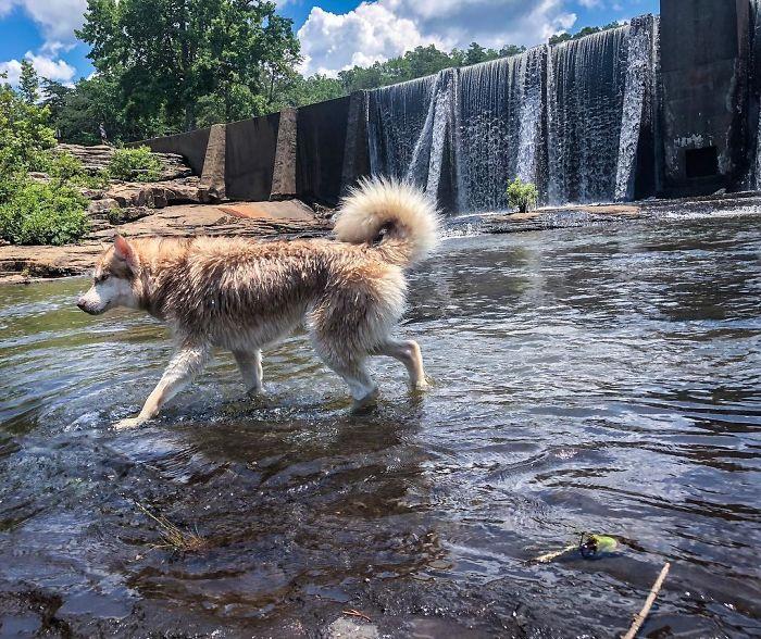 perro husky feliz