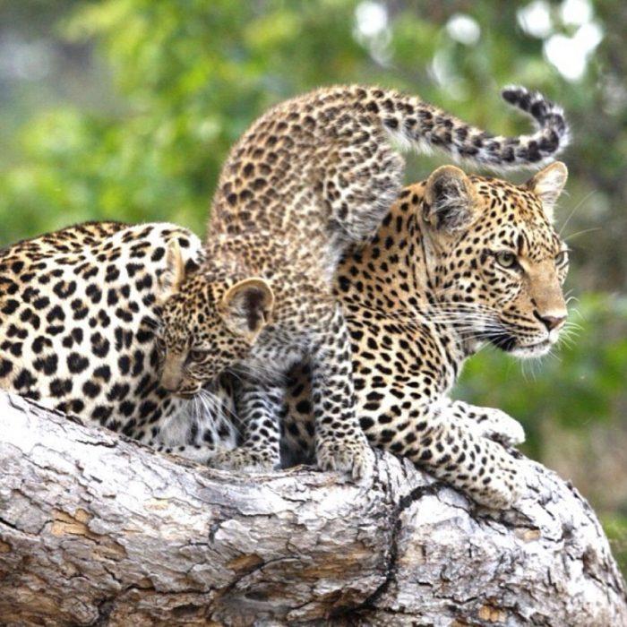 Mamá jaguar con su hijo hiperactivo