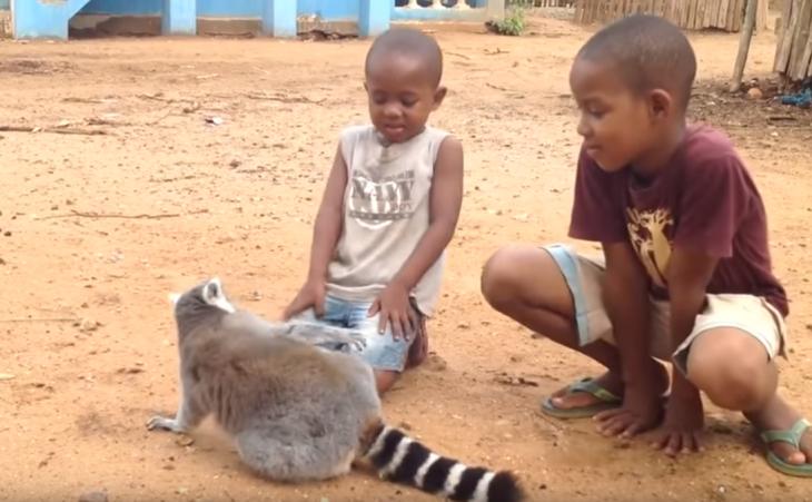 lemur chipil
