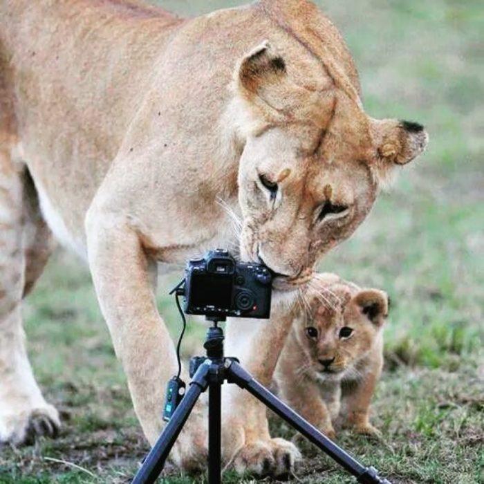 mamá leona y su cachorro