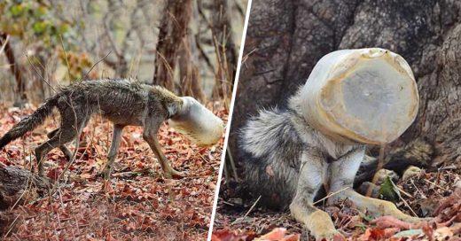 Cover Lobo pasó días con la cabeza atrapada en un contenedor