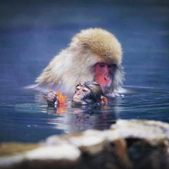 Mamá macaco y su cría nadando