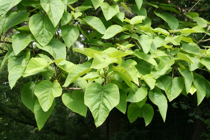 hojas enormes de kiri