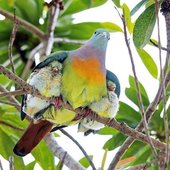 pajarita protegiendo a sus crías