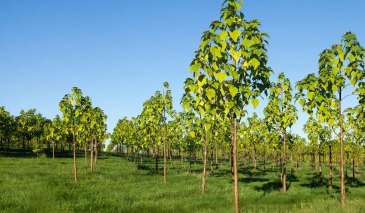plantío de árbol kiri