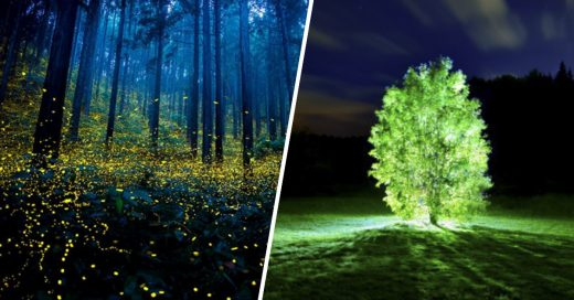 Cover Científicos crean árboles bioluminiscentes para iluminar las calles sin usar electricidad