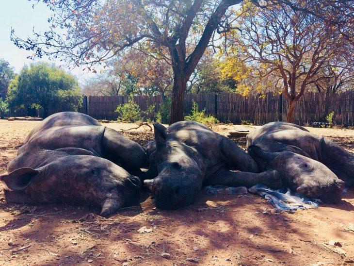 Bebé rinoceronte llora por su madre (2)