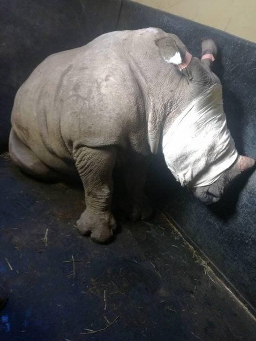 Bebé rinoceronte llora por su madre