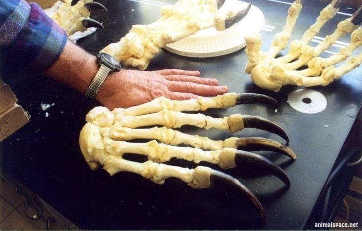 Garras de oso junto a una mano humana
