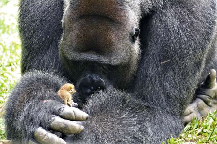 Gorila hace amitad con pequeño lémur