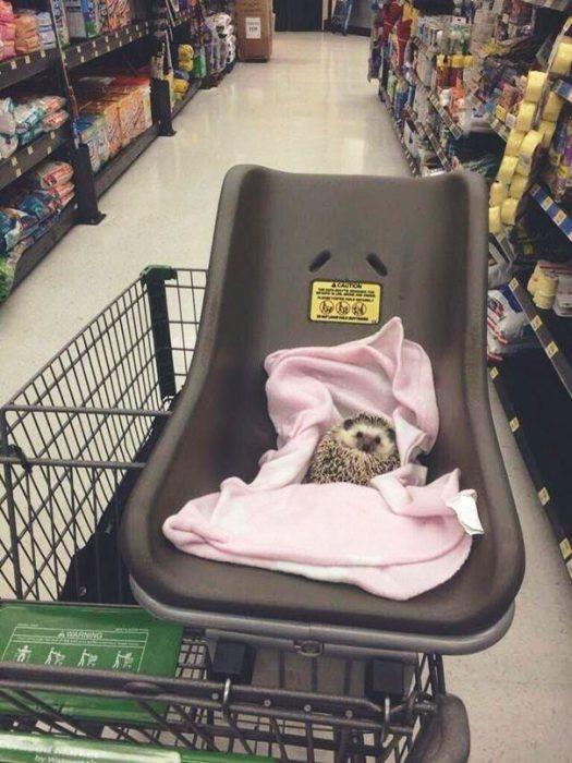 puerco espín en asiento de bebé