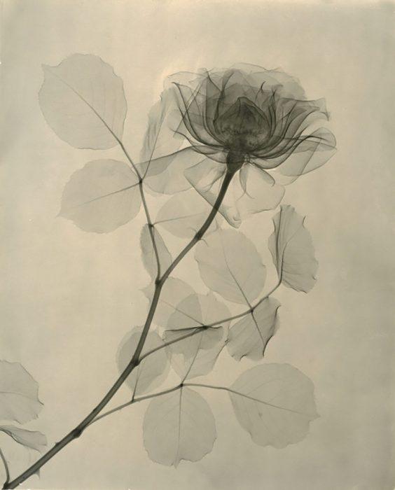 rayos X de una rosa
