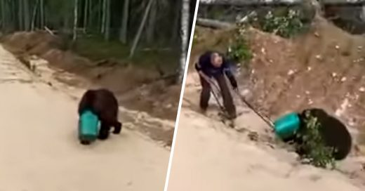 Cover Oso deambula en bosque ruso con la cabeza en un objeto de plástico