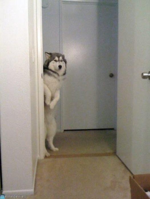 husky puerta