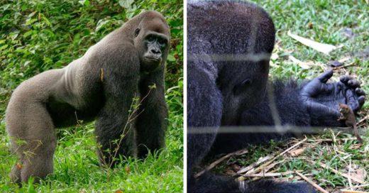 Cover Gorila solitario encuentra a un adorable mejor amigo en el bosque