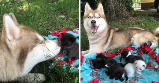 Cover Perrita husky adopta a siete gatitos