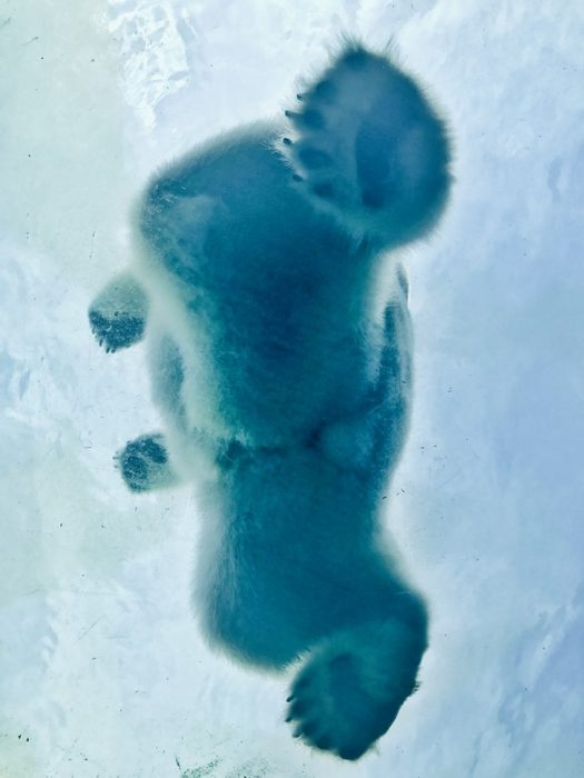 Oso Polar visto desde abajo