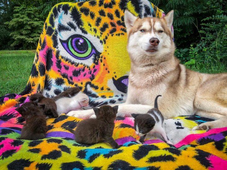 perrita husky adopta gatitos