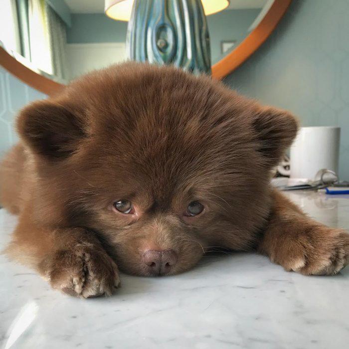 perrito pomeriano abandonado