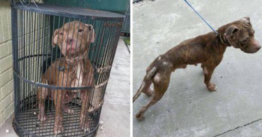 Cover Perrita pitbull fue cruelmente abandonada