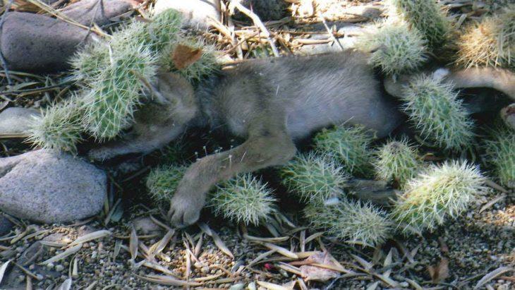 salvan a bebé coyote de las espinas