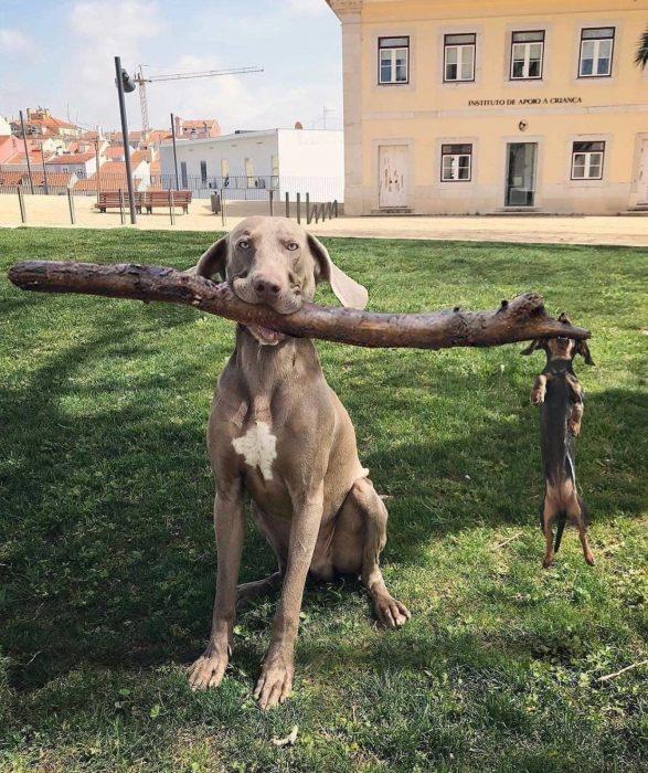 perro grand ey chiquito agarrando un palo