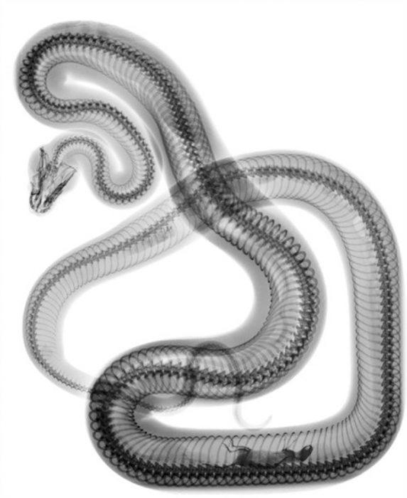 rayos x de serpiente