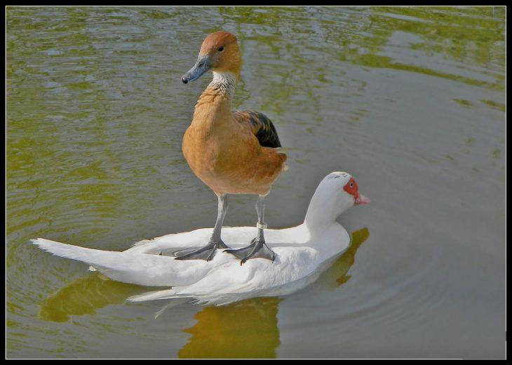 ave sobre un pato