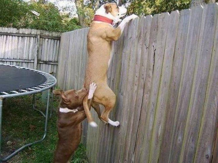 perros tratando de brincarse la barda