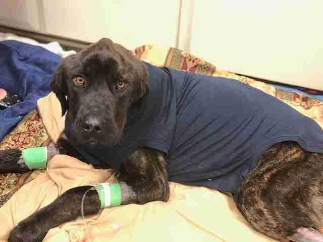 Champ el perro recibe tratamiento médico