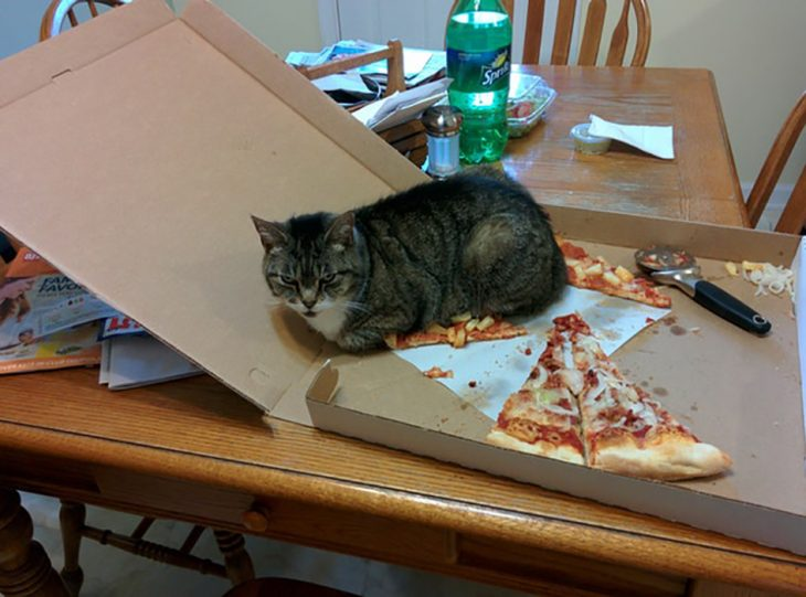 gato sobre pizza