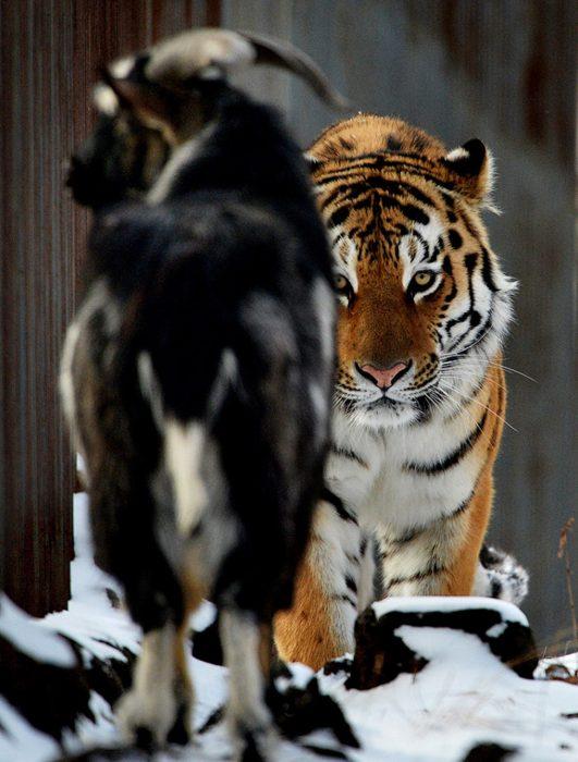 cabra y tigre acecho