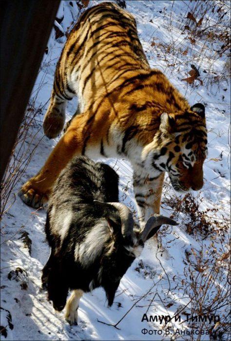 cabra y tigre amur