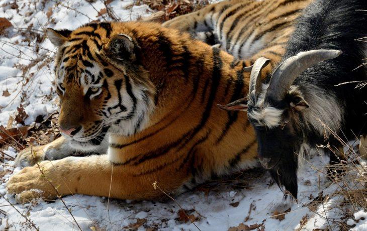 cabrita y tigre