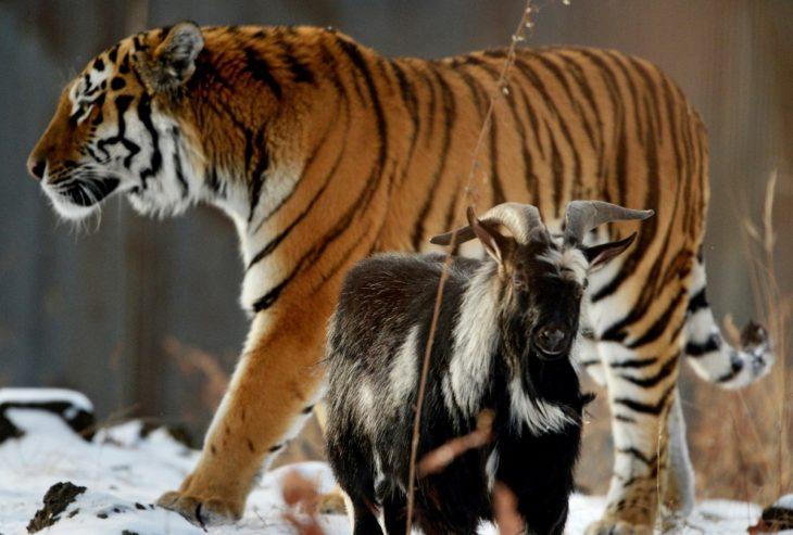 tigre y cabrita que son amigos