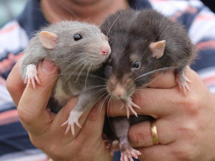 cientos de ratas bajo el concreto
