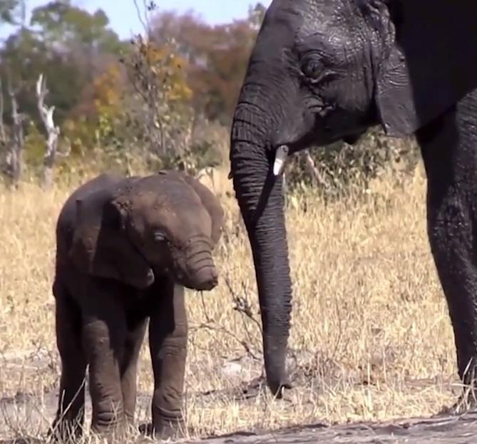 cría de elefante mutilada