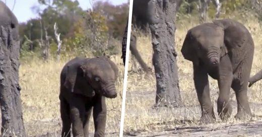 Cover Descubren en la selva a un bebé elefante con su trompa mutilada