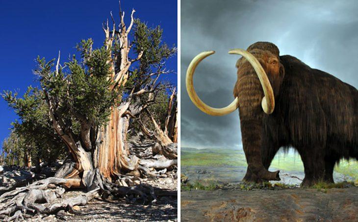 mamut y árbol