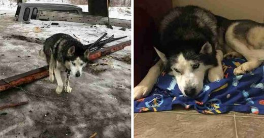 Cover Husky anciano y sordo pasó toda su vida encadenado hasta que encontró una familia amorosa