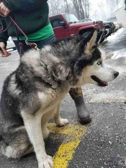 husky con correa