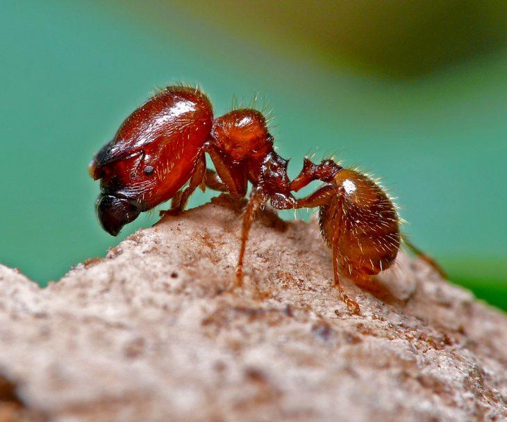 hormiga soldado